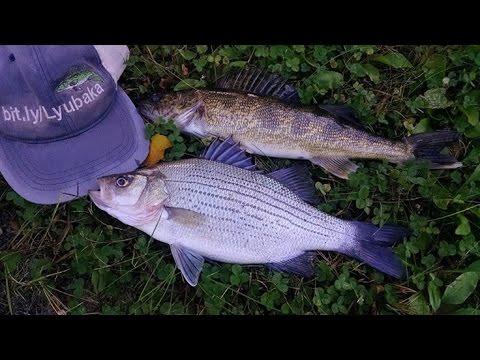 Striped bass in wisconsin