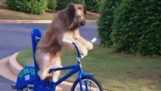 Norman The Bike-riding Dog Cycles Along Street