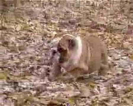 buckandsons bulldogs presents: she's amazing