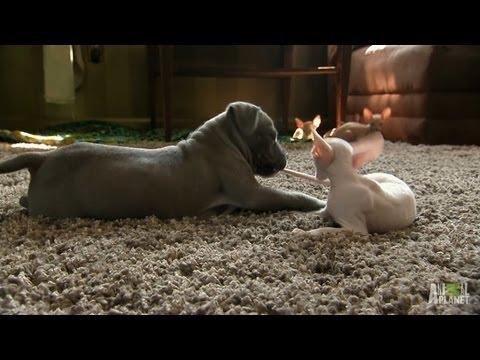 Kitty vs. Pit Bull | Too Cute!