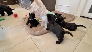 Fiesty little Scottish Terrier puppies