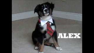 Alex Puppy Training With A Tie Video - All-Star Mini Aussies www.allstarminiaussies.com
