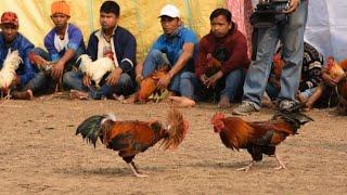Combats de coqs à un festival tribal en Inde thumbnail