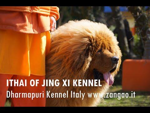 Ithai of Jing Xi Kennel - Tibetan Mastiff male 2 years old