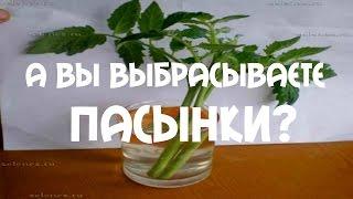 А Вы выбрасываете пасынки? . Как увеличить рассаду #томатов(В этом видео я рассказываю, как я использую пасынки для посадки #томатов. Размножение помидор пасынками...., 2015-06-28T16:16:44.000Z)