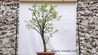 Czeremcha amerykańska (Prunus serotina / Black Cherry)