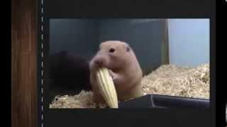 Самые лучшие смешные видео приколы про животных кошек и собак 6 Хомяк и кукуруза Лови улыбку) Ржач