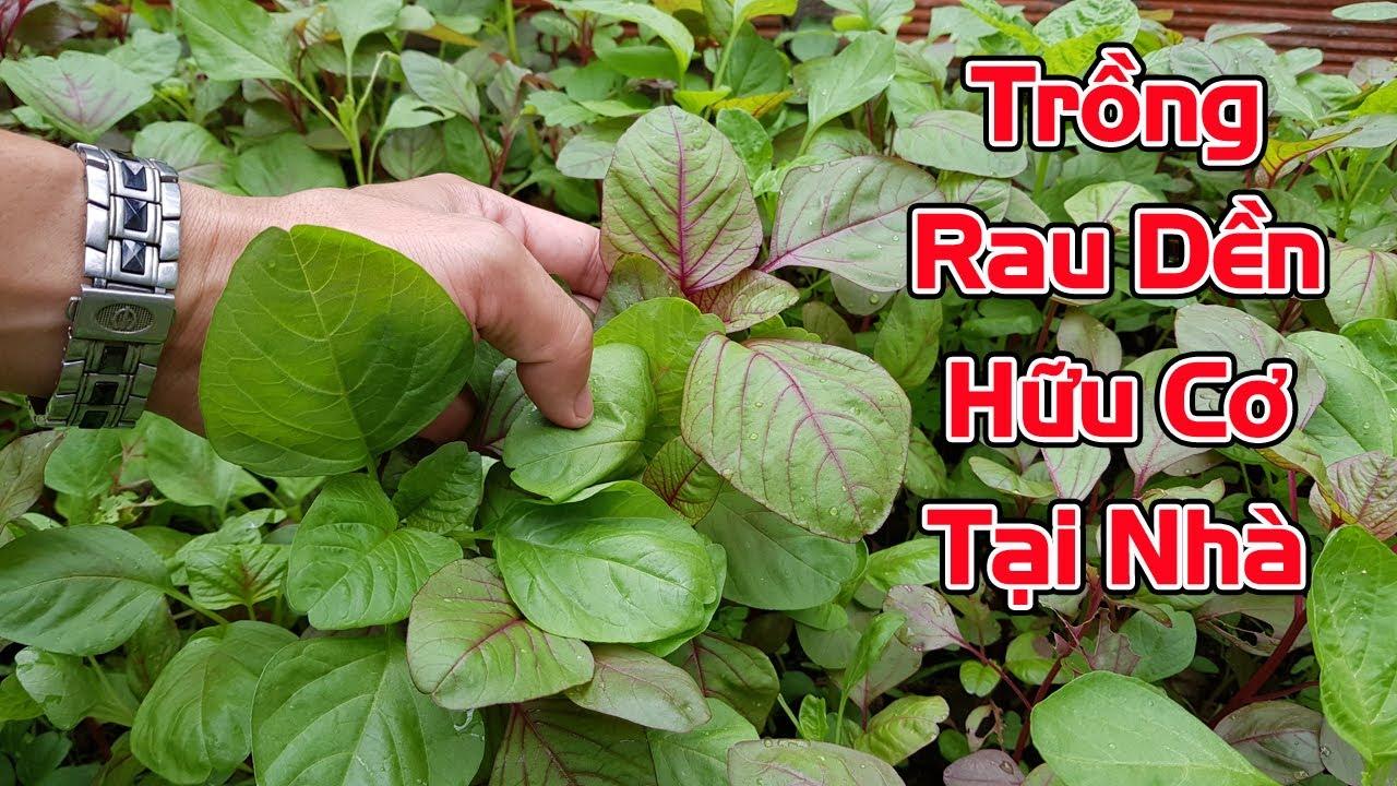 Cách trồng rau dền hữu cơ tại nhà