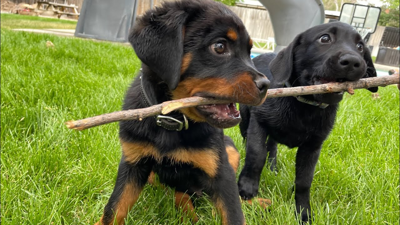 Rottweiler Vs Black Lab Puppies Playing