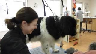 Neufundländer wird ausgebürstet im Hundesalon Bello- Miez & Hoppel
