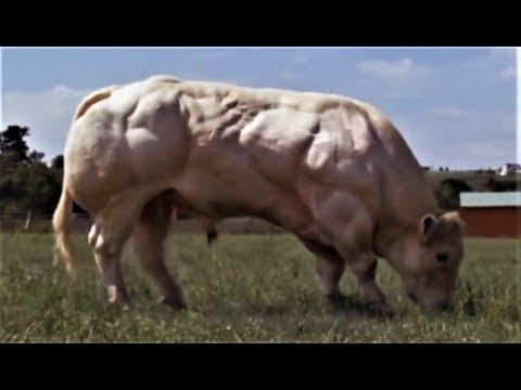 BODYBUILDING GENETIC EXPERIMENTS | SUPERCOW