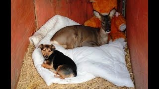 Adorable Deer Raised With Dogs Thinks He's Just Another One Of The Pack