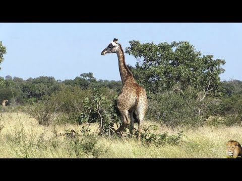 Thumbnail: Very Funny - Watch Giraffe Scratching The Itch