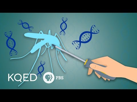 Can Genetically Engineered Mosquitoes Help Fight Disease?