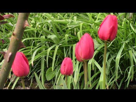 Будни пенсионерки. Сад весной.