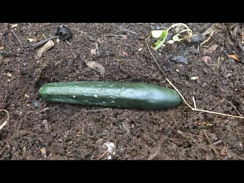 Composting Red Wiggler Earthworms Completely Break Down Whole Cucumber in Seven Days
