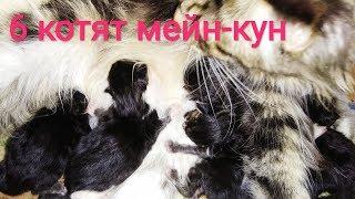 Кошка МЕЙН КУН рожает Кошка родила 6 котят КОШКА НЕ МОЖЕТ РОДИТЬ САМА