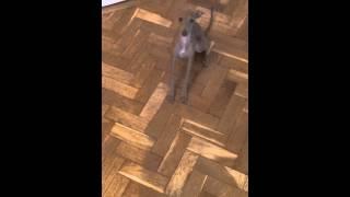 Italian Greyhound Training