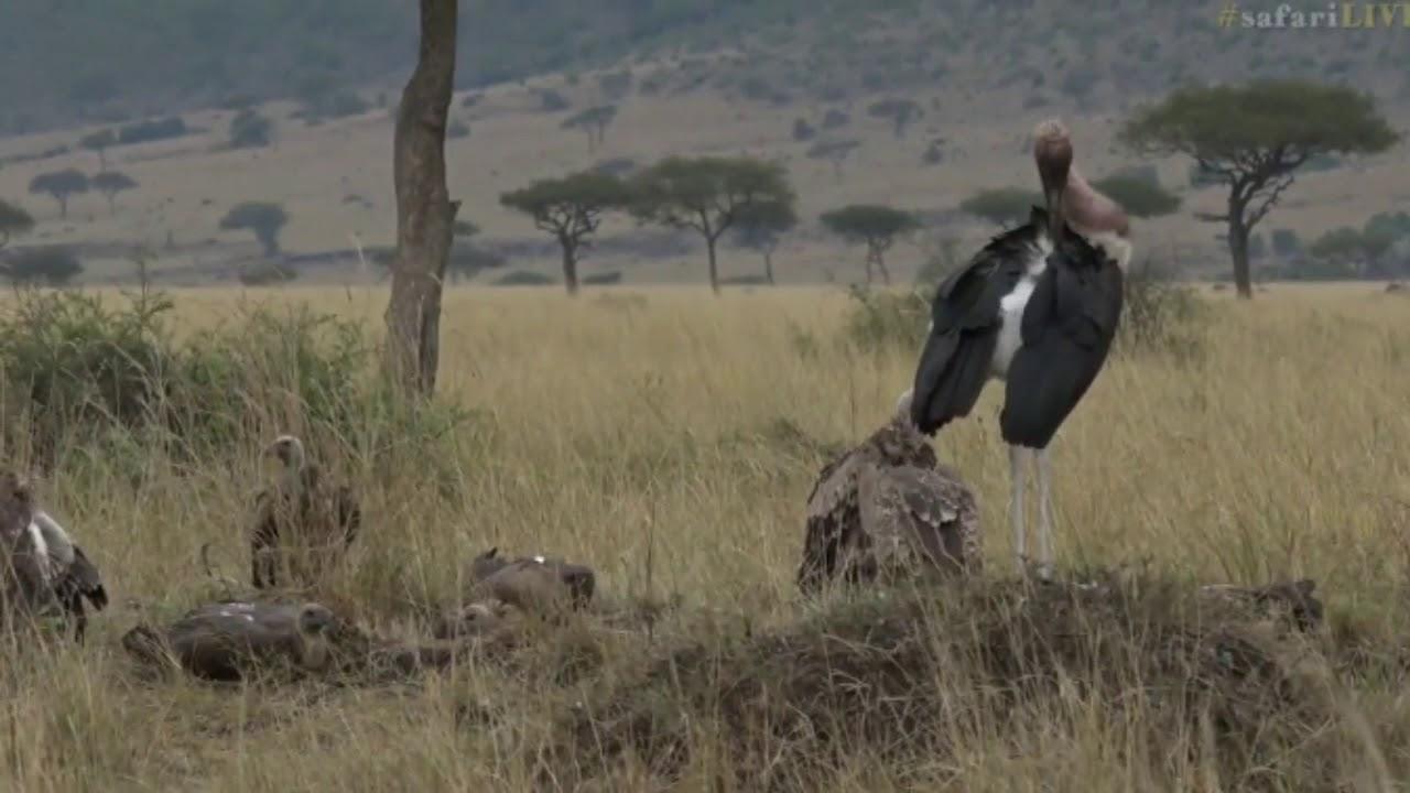 black screen youtube safari