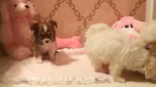 Two Teacup Maltese And A Chihuahua Long Hair) Playing Www.teacuppuppiesstore.com