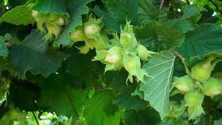 лесной орех  (фундук..лещина)