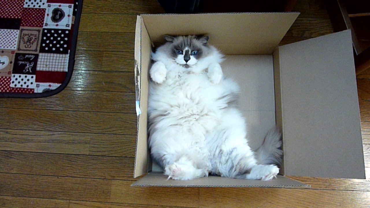 Download 大きな箱でモゾモゾ猫  Cat is relaxed with big box
