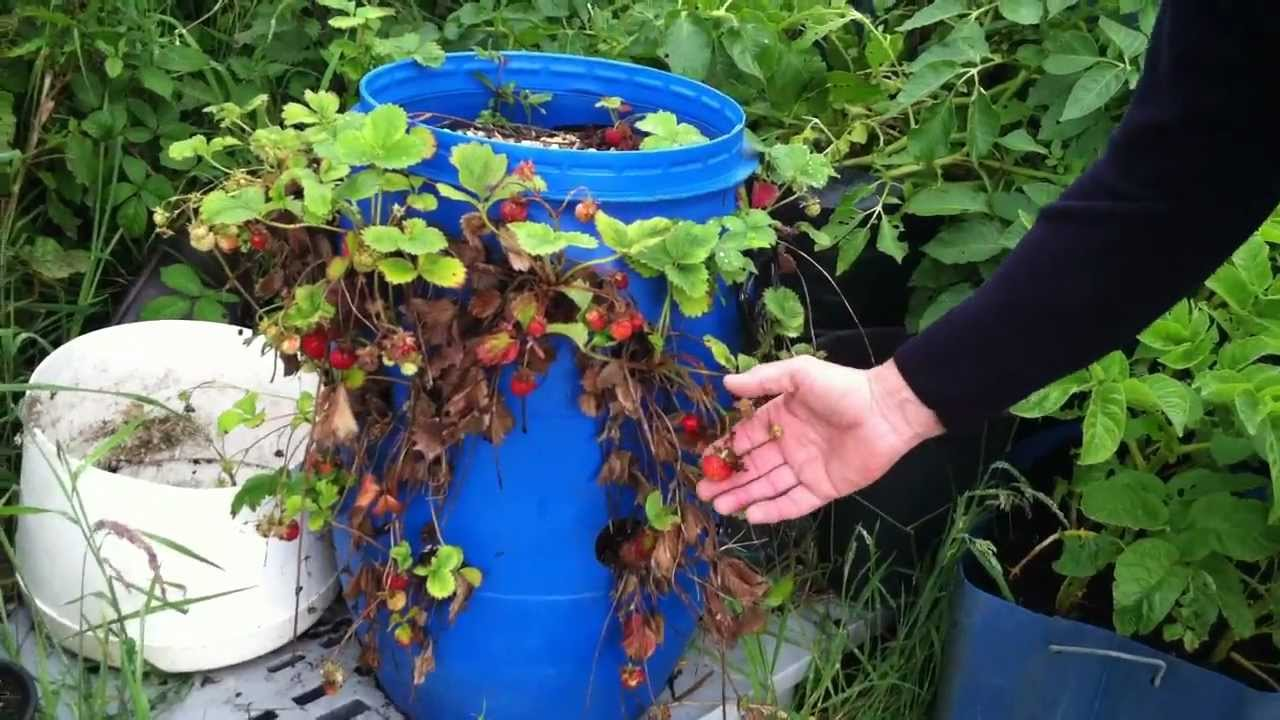 Strawberries Grow In A Plastic Barrel Ireland Youtube