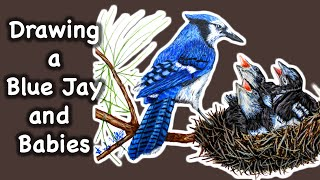 Drawing a Blue Jay Bird Feeding Babies - Time Lapse Drawing