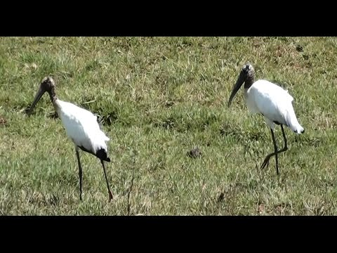 Pantanal wildlife, wild birds, animals that live daily with the cattle herd,
