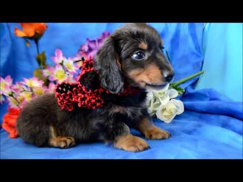 Bosco AKC Male Blue Tan LH Miniature Dachshund Puppy for sale.