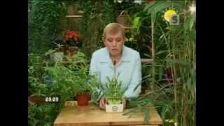 видео Бамбук как вырастить в домашних условиях?