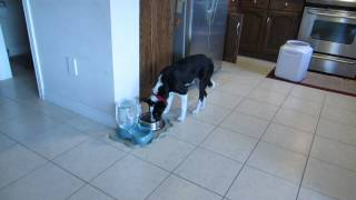 How I stopped puppy food aggression Border Collie