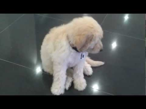 Groodle/Goldendoodle - 8week old puppy training session - 'Merlot'