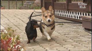 Dogs Fight Over Pecking Order | Kritter Klub
