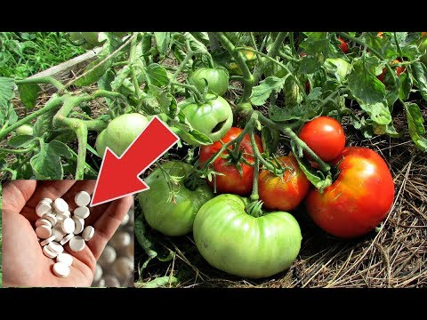 Дайте вашим помидорам эти таблетки для быстрого лечения фитофторы! Трихопол от фитофтороза!
