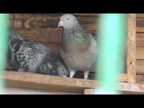 Fancy Pigeon Farm in Yercaud The hill station | Dear park