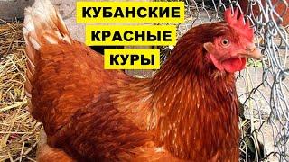 Разведение Кубанской Красной породы кур как бизнес идея | Птицеводство | Куры Кубанские красные
