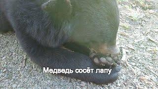Медведь сосёт лапу
