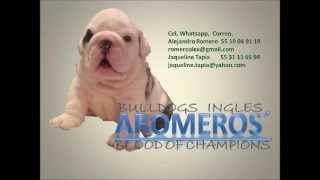 Cachorros Bulldog Ingles Hijos De Cherokee Legend Polar Bear Vs Lady Bombón