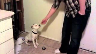 Training chance american bulldog, potty training