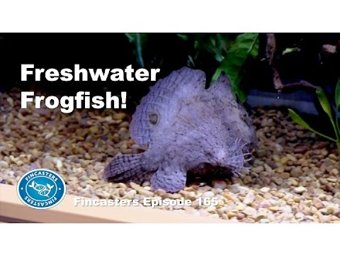 Freshwater Frogfish Fincasters Episode 165