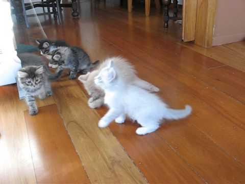 Six Siberian kittens at play