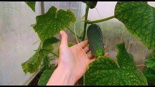 Дайте ЭТО огурцам в ИЮЛЕ и урожайность увеличиться в разы!!! Подкормка огурцов в июле.