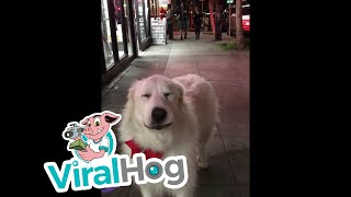 Dog Joins in with Passing Sirens || ViralHog
