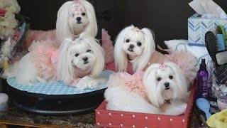 Life:  Spring Kisses ~~ Playful And Happy Maltese Puppies At Home ~ Dog Fashion ~ Korean Style