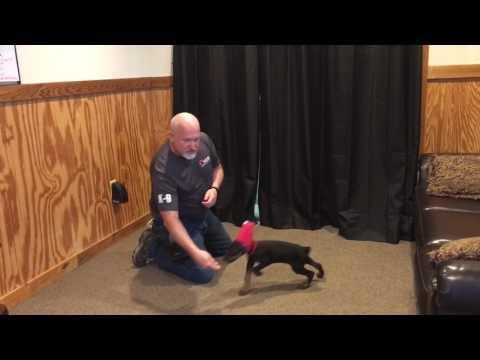 """Doberman Male Puppy """"Flex"""" 9 Wks Old Early Obedience Training Development"""