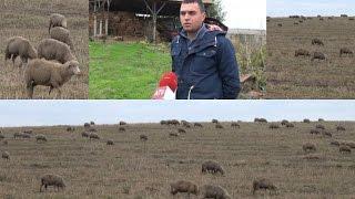 видео Овцеводство: бизнес-план. Овцеводство как бизнес от