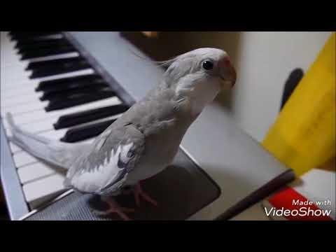 cockatiel Poko singing Totoro     1 hour