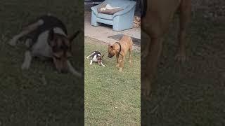 Tenterfield terrier and bull terrier..