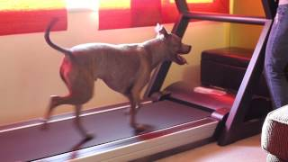 Treadmill Training For Dogs